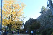 巨大な石垣と銀杏