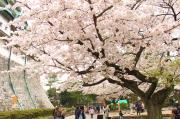 桜と天守閣のコラボが撮れる場所