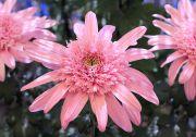鮮やかなピンク色の菊