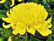 黄色の鉢物大輪菊