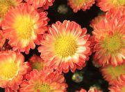 オレンジ色の小菊