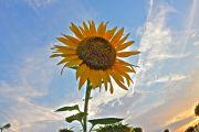 夕暮れ時の空と向日葵