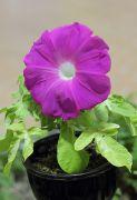 鮮やかな紫色の朝顔