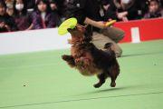フリスピーをキャッチする小型犬