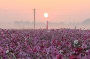 日の出と朝霧と羽島のコスモス