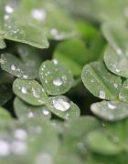 三つ葉と雨粒