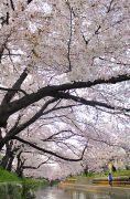 五条川を覆う桜のトンネル