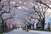 桜のトンネルその2