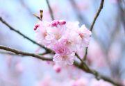 八重咲きの桜