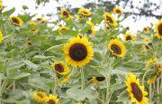 戸田川緑地の向日葵