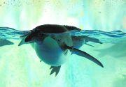 水槽の中を泳ぐペンギン