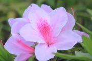 ツツジ(白+ピンク)